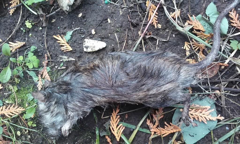 Dead Herkimer drug rat